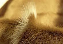 جلد غزال springbock الافريقي للبيع