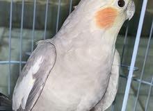 للبيع طيور كروان لون نادر