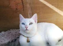 قطه شيرازي عيون تك وتك حامل لعوبه