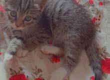 قطة من نوع Tabby cat
