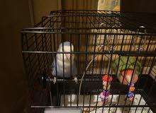 طيور مغرده
