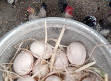 بيض دجاج زاحف