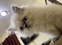 I want to sell my female cute kitten !