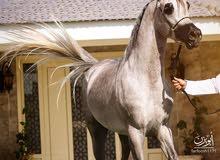 مزاد للخيوال