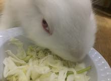 newzealand white rabbit for sale !!!!