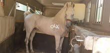 حصان عربي اصيل بشهادة نسب