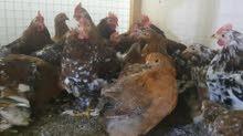 دجاج زينه للبيع