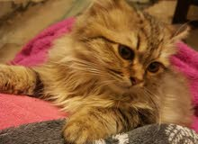 قطة للبيع عمر 3 شهور