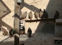 طيور حجل(شنار)  عمر 6 اشهر
