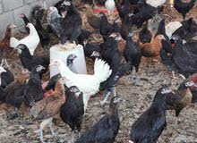 بيع دجاج عمانيات