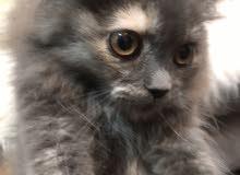 قطة رمادي انثى