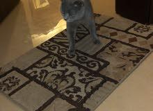 59a5f62657704 مستعجل قطة british blue