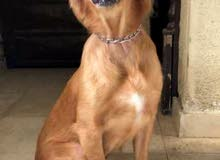 كلب جولدن (انثي) جاهز التزاوج