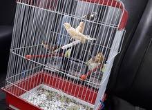 عصافير كناري للبيع جملة 100دينار قطاعي أسوام