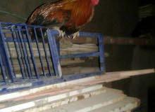 دجاج عرب للبيع بسعر مناسب العدد..زوجين