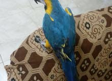 Maccaw blue and gold friendly