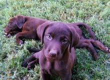 جرو لابرادور 60 يوم Laprador puppy 60 days