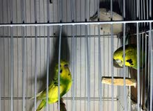 للبيع طيور حب هولندى منتجه
