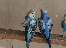 طيور الحب هاجرمو