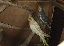 طيور كوكتيل للبيع شغلات 100%