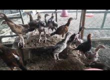 صيصان دجاج باكستاني 3 رال