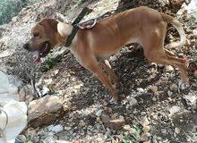 كلب بونتر 077512 0339