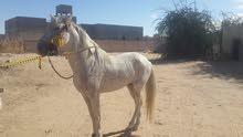 حصان للتبديل بي سياره