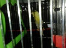 مجموعة طيور كناري للبيع بسعر مغري بل مقابلين