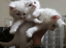 قطط عمر شهرين للبيع