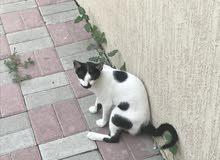 قط مفقوود