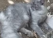 زوج قطط شيرازي تربيه بيت اطيف مدرب