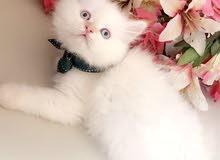قطط هملايا للبيع في المدينه المنورة