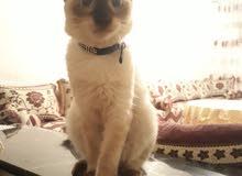قطط سيامي