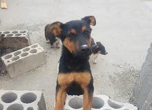 كلب للبيع