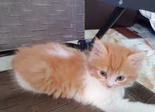 cat for sale farsi 2 months(Male)