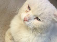 قطه شرازي حامل للبيع