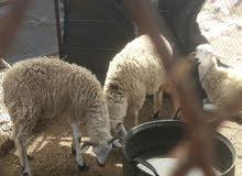 خروف عمر سنة للبيع