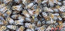 عسل طبيعي 100% شامل التوصيل