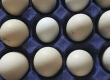 10 بيضات عرب متنوع