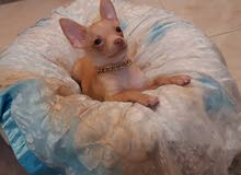 Pure Chihuahua Breed Male Puppy