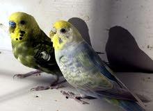 زوج طيور حب مو مزاويج