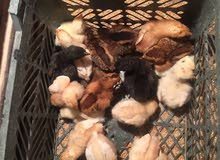 كتاكيت مهجنات الدجاجه وأهمان وديج عربي