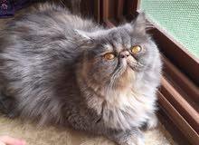 اجمل قطه بيرجن تورتيلا بلو اصول مسجله منتجه بيكي فيس زورار