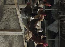 دجاج فرنسي ابيض والاحمر الكولومبي مشهور بقوة البروتين في البيض واللحم
