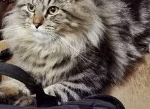 قط ذكر beautiful male cat
