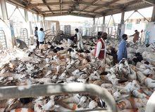 SOMALI GOATS/SHEEPS  الماعز / الرخويات الصومالية