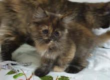 قطة برتيش لونج هير