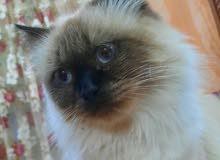 قط هملايا العمر سنه