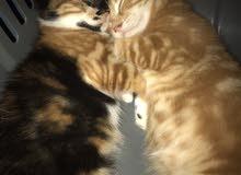 قطط شيرازي انثى و ذكر ، قطط هيملايا مكس اثنين ذكر و انثى للبيع