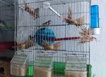 طيور حب شغال مع بيض وطيور جنة